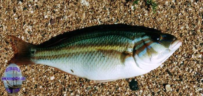 Bream - Coral Monocle