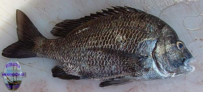 Bream - Pikey