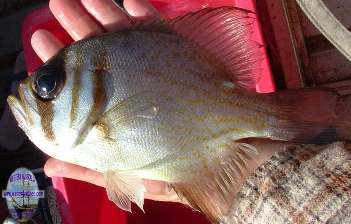 Perch - Threadfin pearl