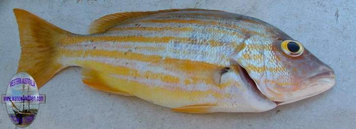 Perch - Striped