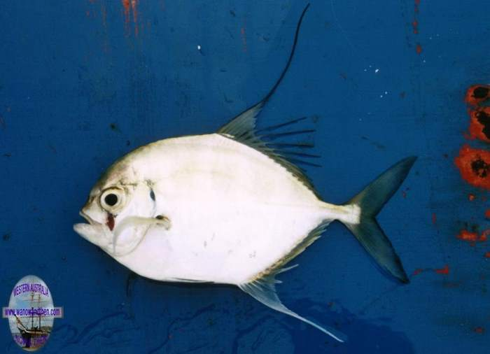 Trevally - Bump nosed