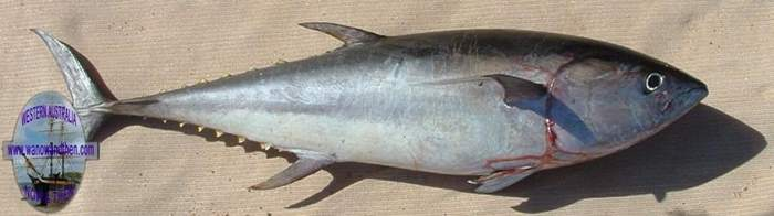 Fishing in western australia western australia www for Does tuna fish have scales