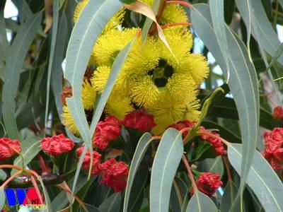 West Australian Wildflowers - Eucalyptus