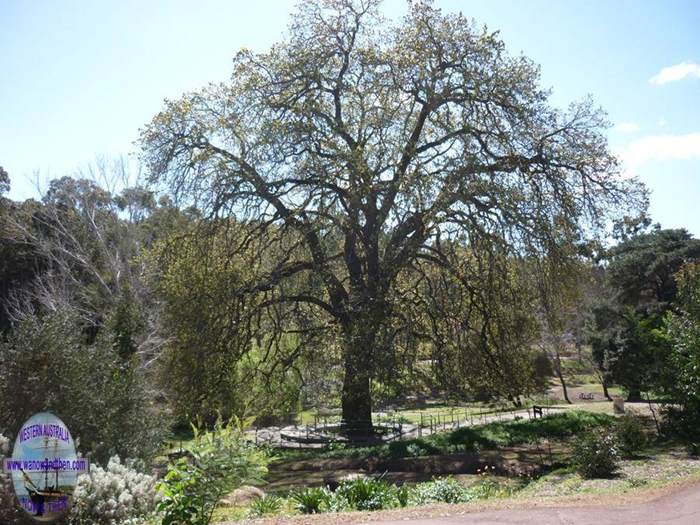 Oak tree at Freed Jacoby Park